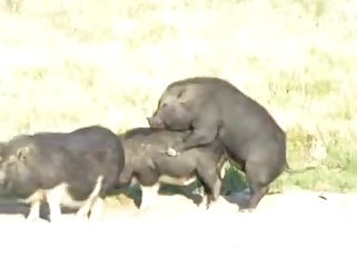 A pair of insanely hot black boars fuck each other from behind